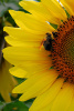 """Sunflower & Bee"" Photography by Ron Edwards"